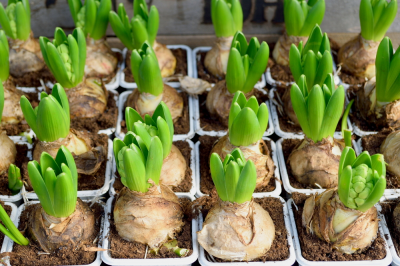 Give spring bulbs a little TLC now
