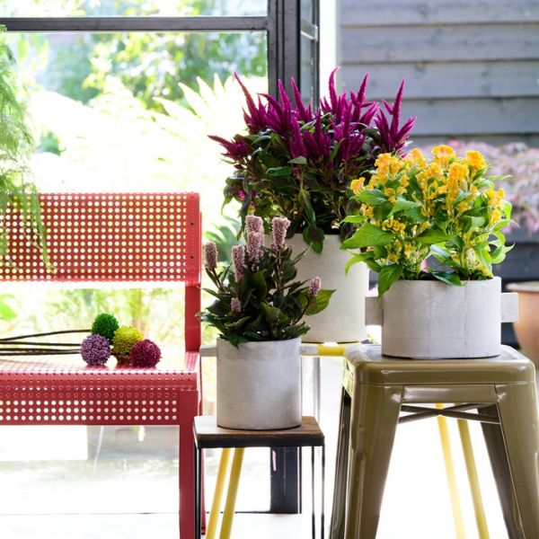 Houseplant of the month: Celosia