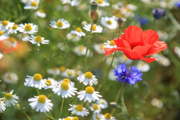 How to sow a wildflower patch