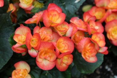 Plant of the Week: Begonia