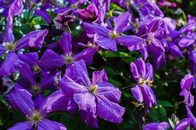 Plant of the Week: Clematis