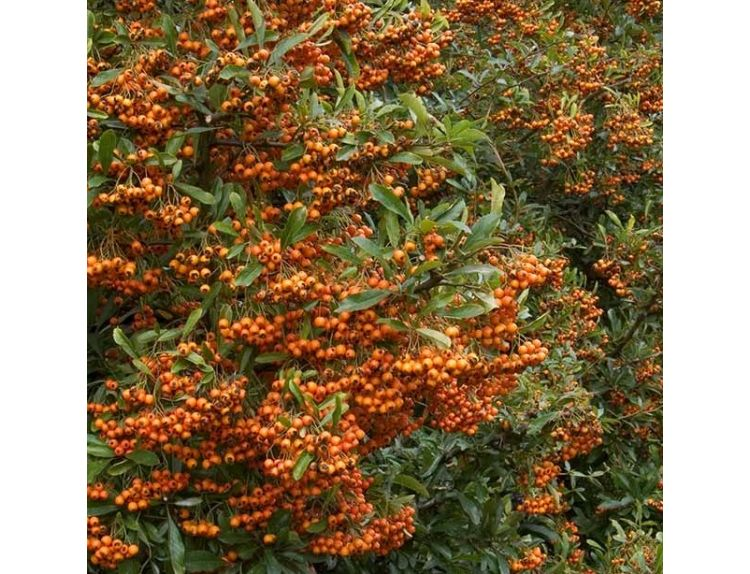 Pyracantha Orange Glow - image 1